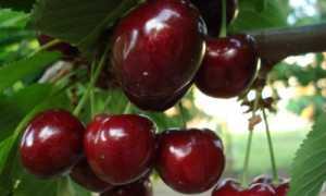 Черешня Регина: описание сорта и характеристики, выращивание и уход, опылители и фото