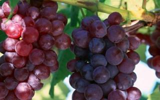 Виноград Лидия: описание и характеристики сорта, урожайность и выращивание с фото