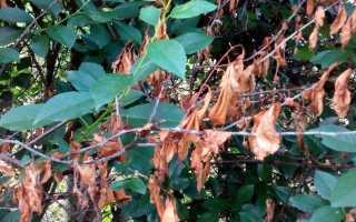 Сохнет вишня: что делать, почему плоды краснеют и засыхают на дереве