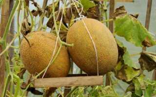 Дыня Карамель: описание и характеристика сорта, выращивания с фото
