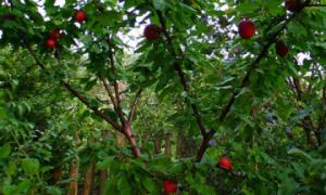Абрикос Черный Бархат: описание сорта и характеристика урожайности с фото