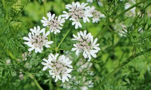Кориандр – польза и вред употребления пряностей, правила употребления семян