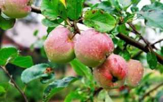 Яблоня Соковое-3: описание и характеристики сорта, регионы выращивания с фото