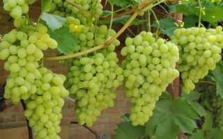 Виноград Ландыш: описание и характеристики сорта, правила выращивания и ухода