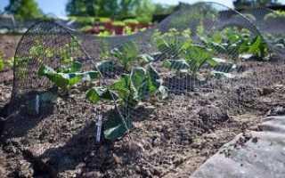 Можно ли сажать свеклу в июле или конце июня в открытый грунт
