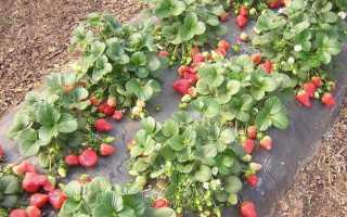 Как увеличить урожай клубники в открытом грунте: способы и правила ухода