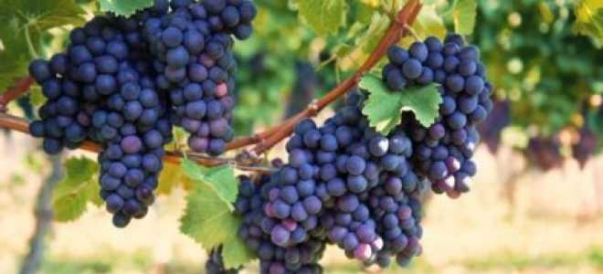 Виноград Фиолетовый ранний: описание и характеристики сорта, выращивание и уход