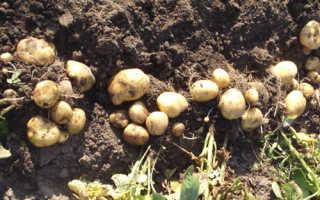 Картофель Метеор: описание и характеристика сорта, мнение садоводов с фото