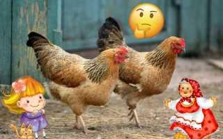 Как определить возраст курицы: признаки и отличия старой птицы от молодой, узнаем по внешнему виду
