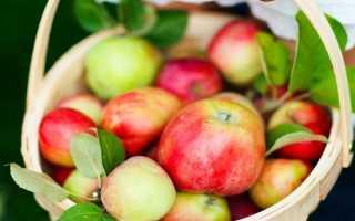 Яблоня Горнист: описание сорта и характеристики, посадка, выращивание и уход с фото