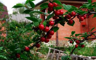 Войлочная вишня: описание сортов, посадка и уход, размножение черенками и обрезка