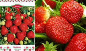 Клубника Сударушка: описание и характеристики сорта, посадка и уход, сбор урожая
