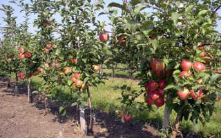 Яблоня Марат Бусурин: описание и особенности сорта, урожайность и выращивание