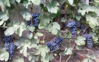 Виноград в Удмуртии: посадка и уход, выращивание и описание лучших сортов