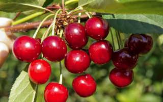 Сорта вишни для Подмосковья: лучшие самоплодные и низкорослые, посадка и уход