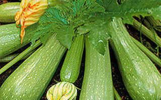 Кабачок Сангрум f1: характеристика и описание сорта, выращивание с фото