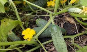 Огурец Элиза: характеристика и описание сорта, урожайность с фото