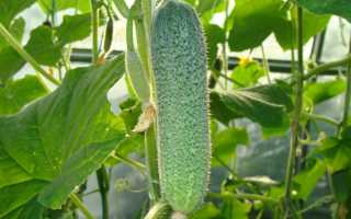 Посадка огурцов в открытый грунт под пленку: выращивание, как укрыть и когда снимать