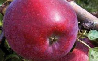 Яблоня Кубанское Багряное: описание алого сорта и характеристики с фото