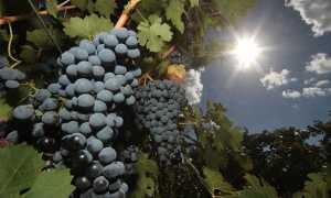 Виноград мускат: описание сортов и их характеристик, особенности выращивания с фото