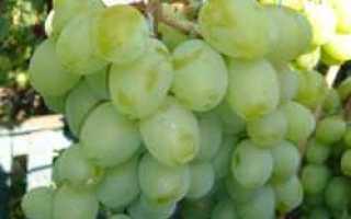 Виноград Подарок Запорожью: описание и характеристики сорта, выращивание с фото
