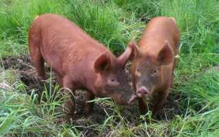 Порода свиней дюрок: описание и характеристики, условия содержания, разведение