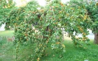 Монастырский абрикос: характеристика, особенности посадки и ухода