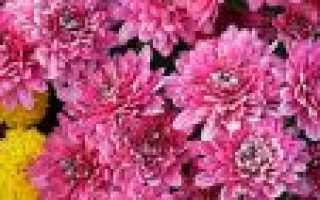 Билковидные сорта садового хризантемы: Описание лучших, основных принципов посадки и ухода