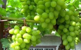 Виноград Гарольд: описание плодового сорта и характеристики, история с фото