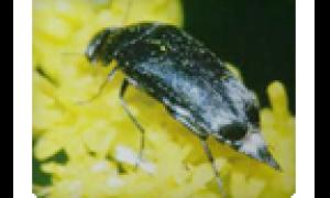 Болезни и вредители сои: совка, паутинный клещ и меры борьбы с ними с фото