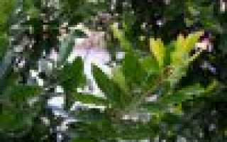 Лавровое дерево: посадка, условия выращивания, уход и фото