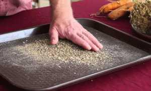 Как вырастить семена моркови самостоятельно в домашних условиях