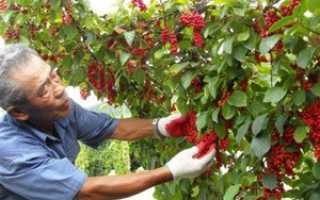 Лимонник китайский: особенности выращивания и ухода за растениями, выбор места для посадки, полива и подкормки