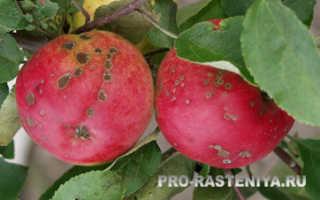 Парша на яблоне: чем лечить и как бороться, обработка препаратами и средствами