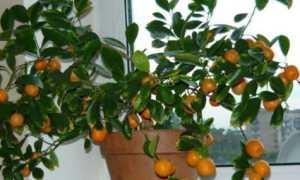 Как прищипывать мандариновое дерево в домашних условиях: правила обрезки и формирования