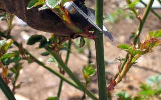 Обрезка роз на зиму: стоит ли и как правильно делать это занятие осенью для начинающих