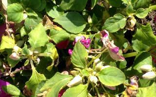 Цветок Ванька мокрый: почему листья желтеют и опадают и что делать