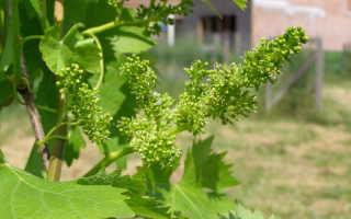 Почему не плодоносит виноград: причины и что делать, меры профилактики
