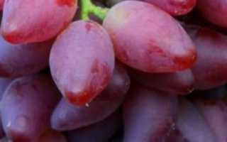 Виноград Дубовский розовый: описание сорта и история, плюсы и минусы