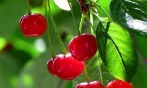 Сорт вишни Сания: описание дерева и плодов, тонкости выращивания и ухода