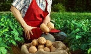 Как спасти картофель в дождливое лето: выращивание и уход, если затопило огород