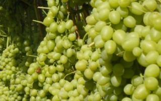 Виноград Настя: описание и характеристики сорта, плюсы и минусы, выращивание