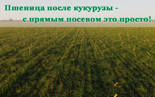 Кукуруза в севообороте: лучшие предшественники, что можно сажать после