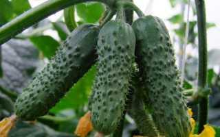 Огурец Моравский корнишон: характеристика и описание сорта, выращивание и уход с фото