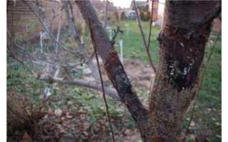 Трескается кора на яблоне: что делать и как лечить, причины появления и профилактика