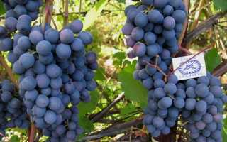 Виноград Агат Донской: описание сорта и характеристики, выращивание и уход