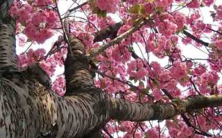 Вишня сакура: описание и характеристики сорта, посадка и уход с фото