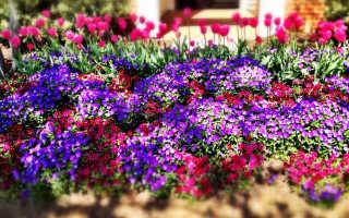 Милые и неприхотливые однолетние цветы, цветущие все лето – 34 фото