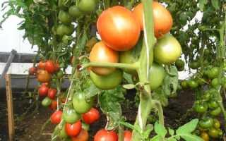 Томат Юла: характеристика и описание сорта, урожайность с фото