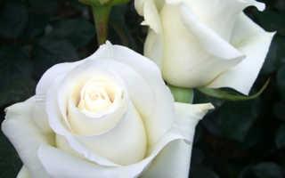 Роза Анастасия: описание и характеристики сорта, правила посадки и ухода